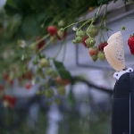 Robot Pemetik Strawberry, Cepat, Gesit dan Presisi seperti Manusia